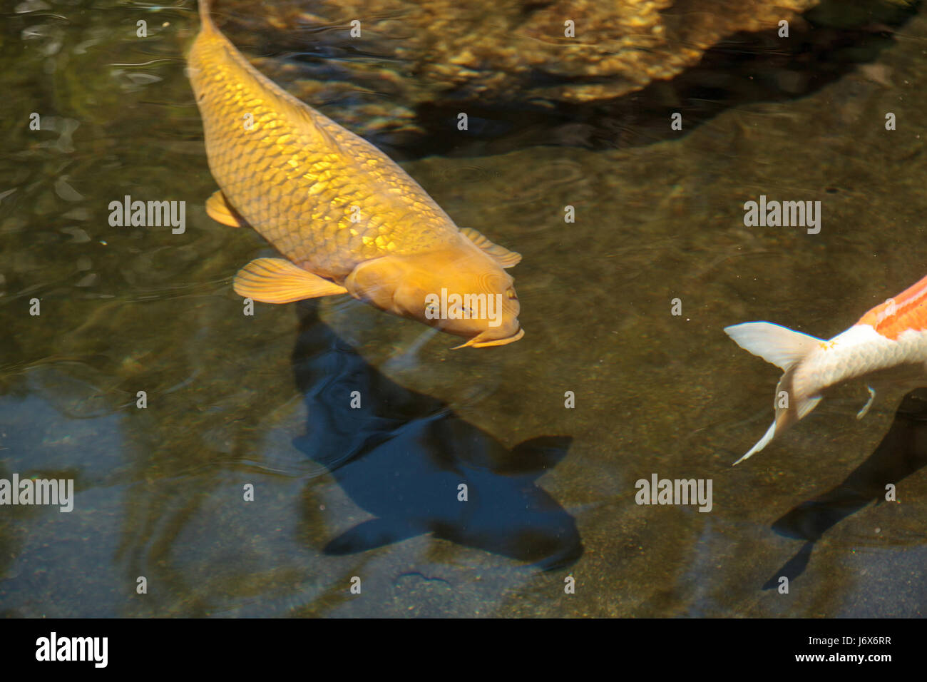 Haematopterus stock photos haematopterus stock images for Freshwater koi fish