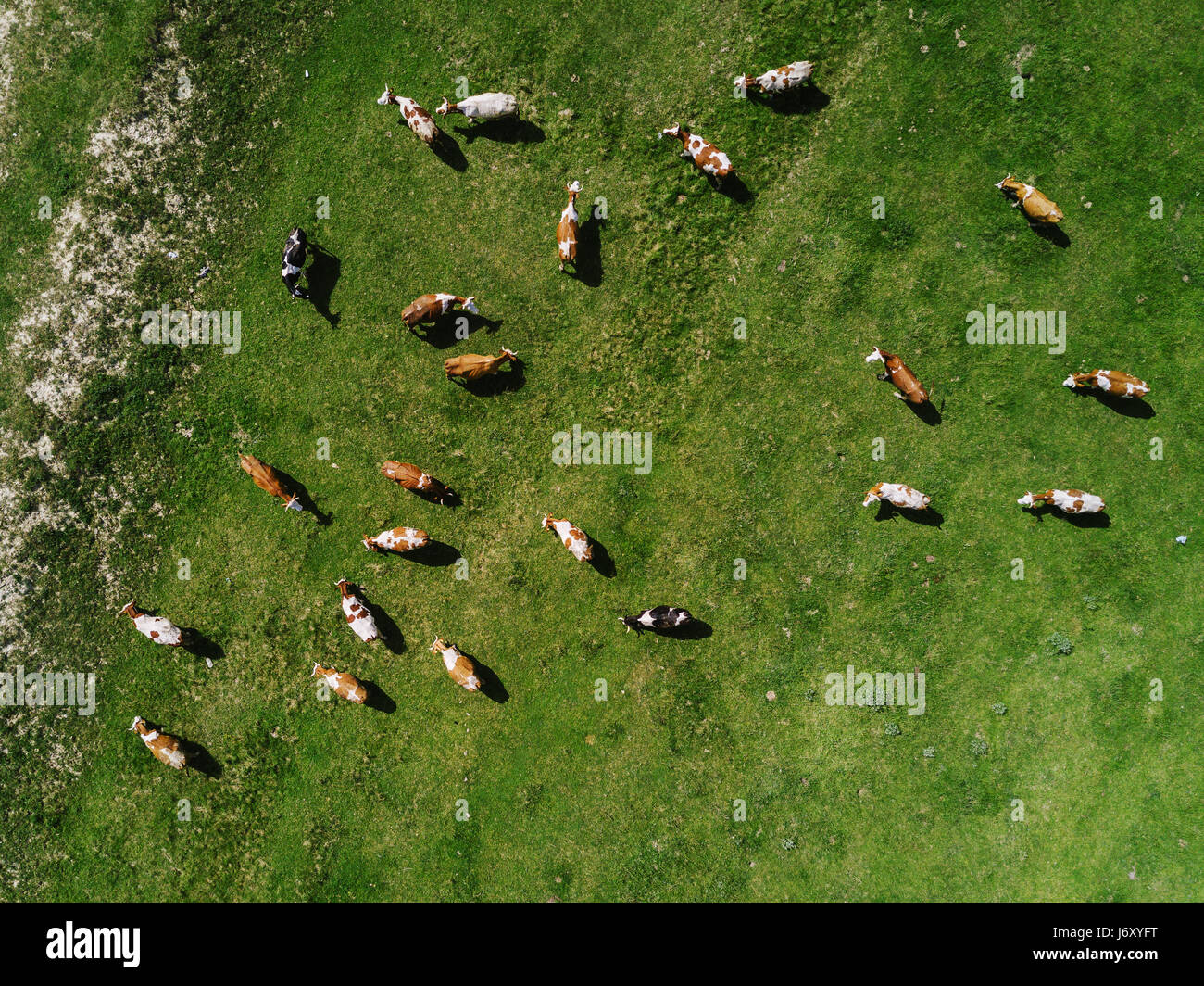 aerial view of cows herd grazing on pasture field top view drone