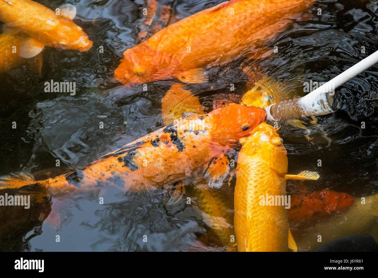 Goldfish pond china stock photos goldfish pond china for What to feed baby koi