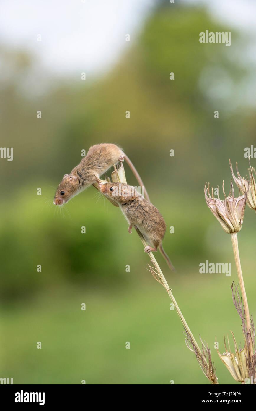 Harvest mice (Micromys minutus) on yellow fennel (Nigella Stock ...