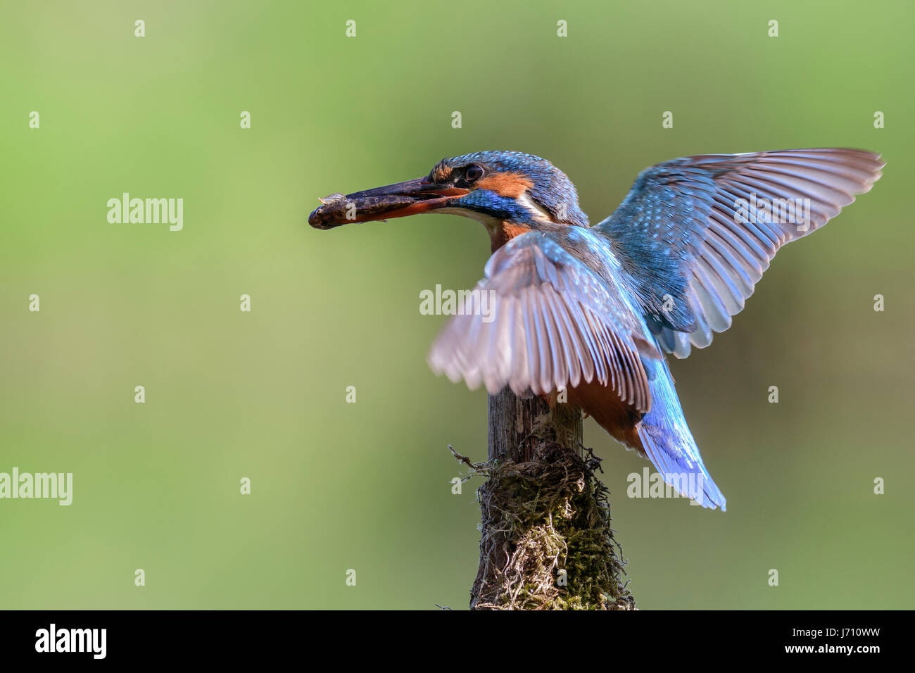 European kingfisher stock photos european kingfisher for Fish and wings