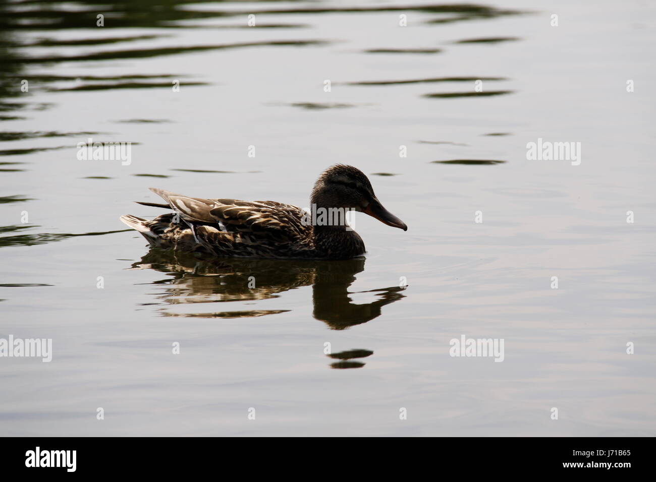 Flugtier stock photos flugtier stock images alamy for Duck pond water