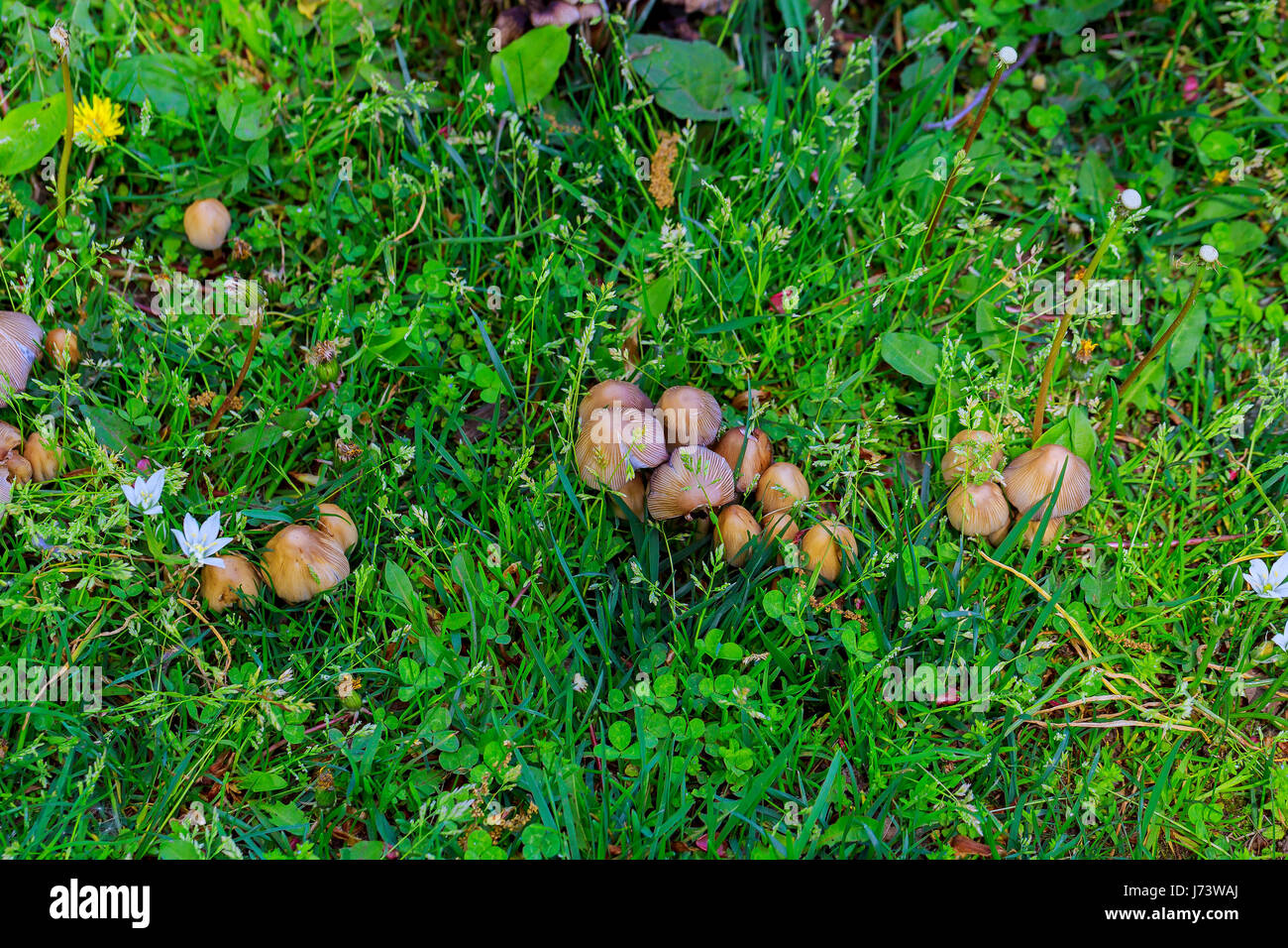 mushrooms growing in grass mushrooms in the grass stock photo