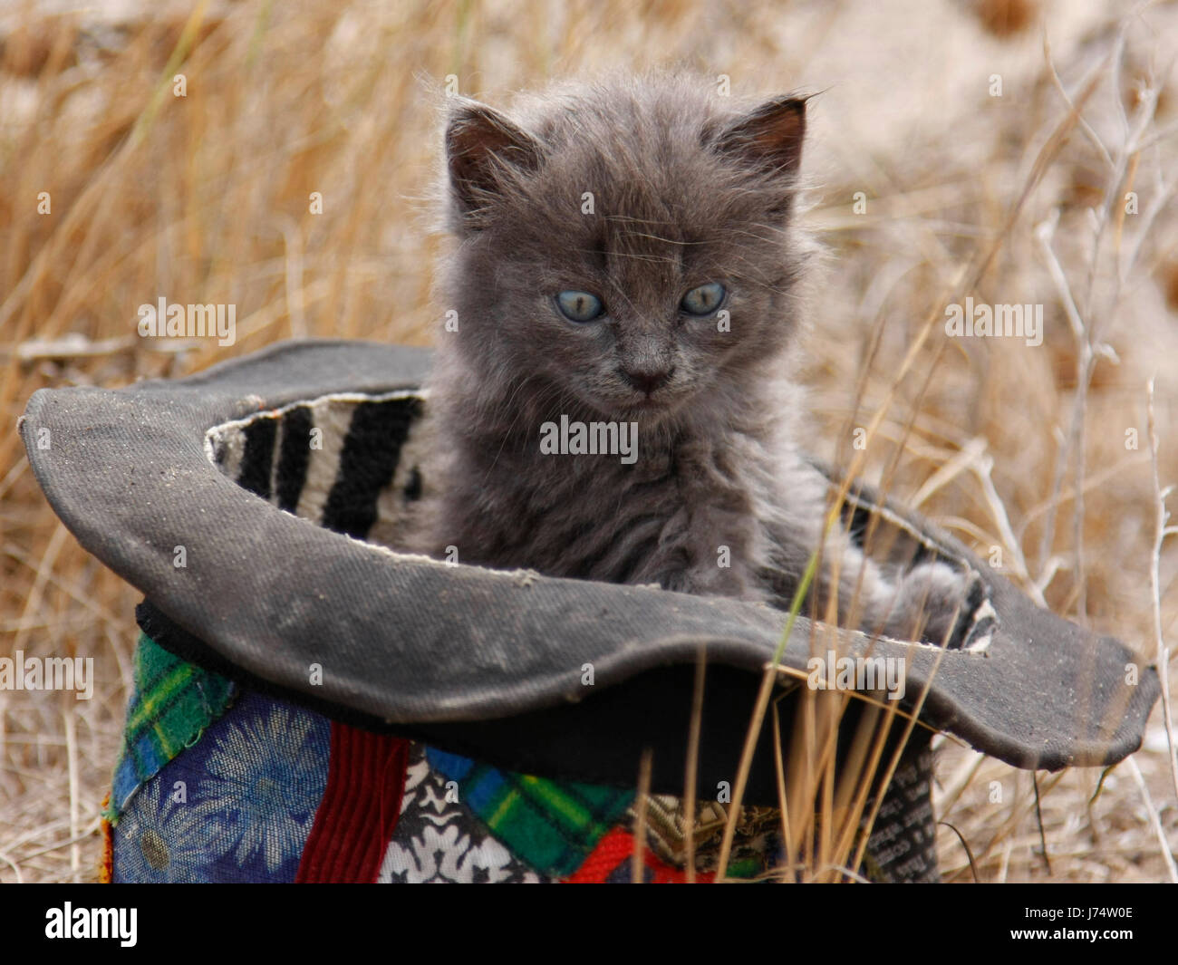 hat cute cat cat domestic cat grey gray kitten kittens