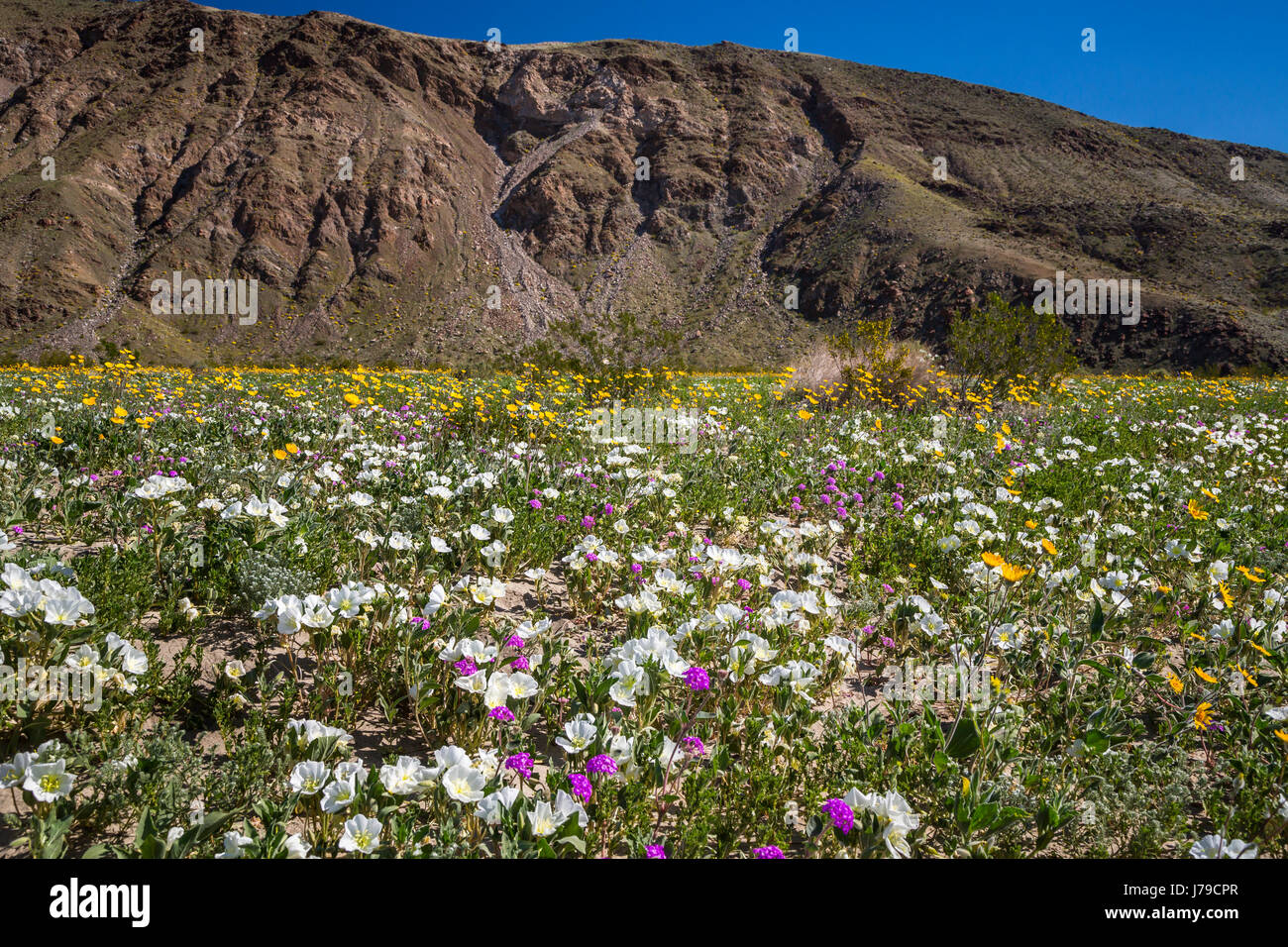 Borrego springs flowers stunning march jim reports i was out in affordable spring desert wildflowers near borrego springs california usa with borrego springs flowers mightylinksfo Images