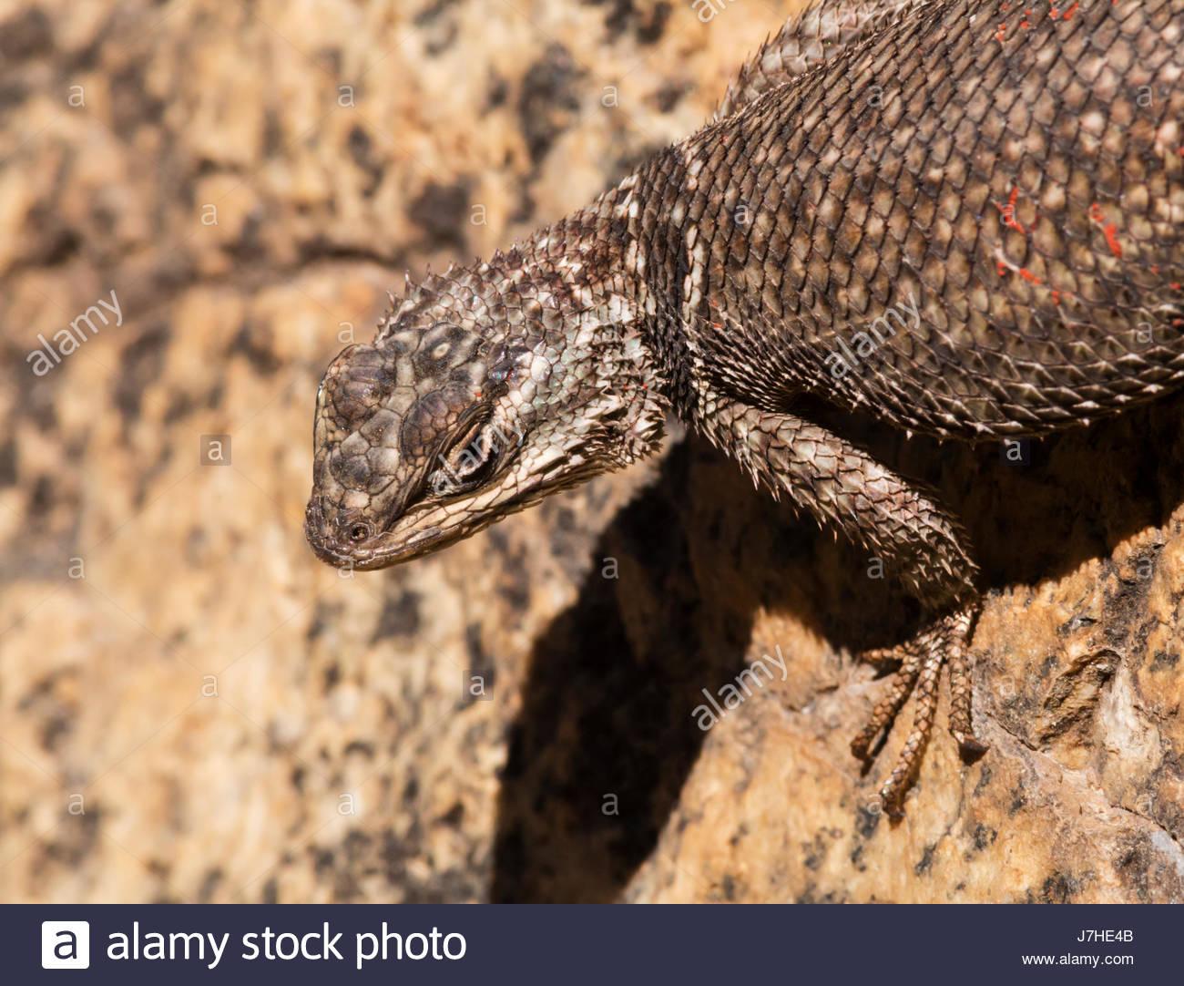 yarrows-spiny-lizard-sceloporus-jarrovii