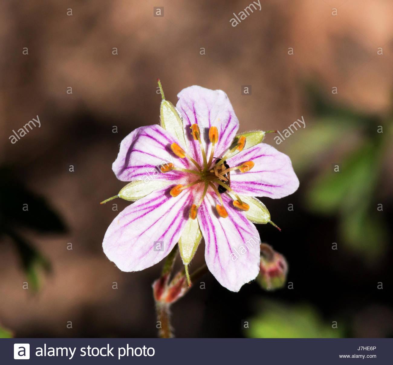 purple-wild-geranium-geranium-caespitosu