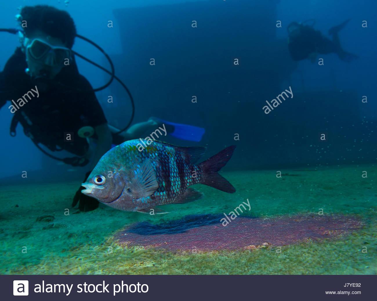 sergeant major fish colour