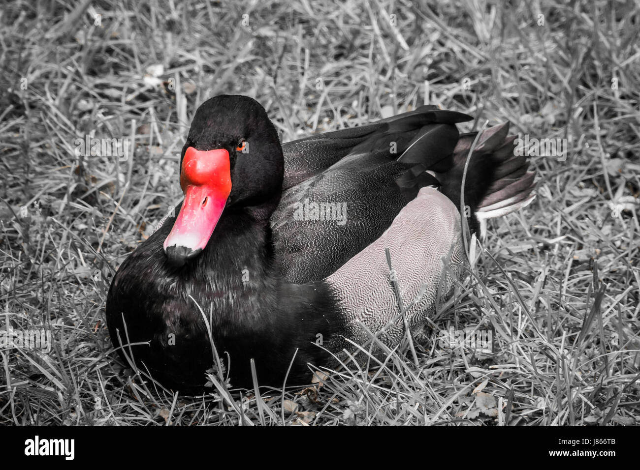 red beak of black duck with orange eyes in black and white stock