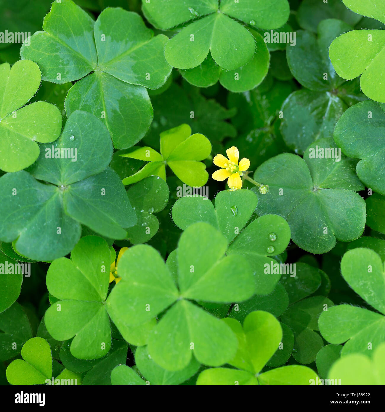 Clover and little yellow flower stock photo 142782922 alamy clover and little yellow flower mightylinksfo Choice Image