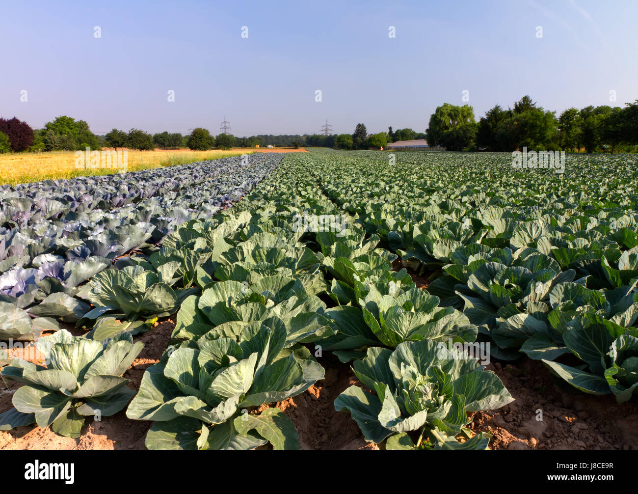 Field Harvest Vegetable Farm Cabbage Land Red Realty Ground