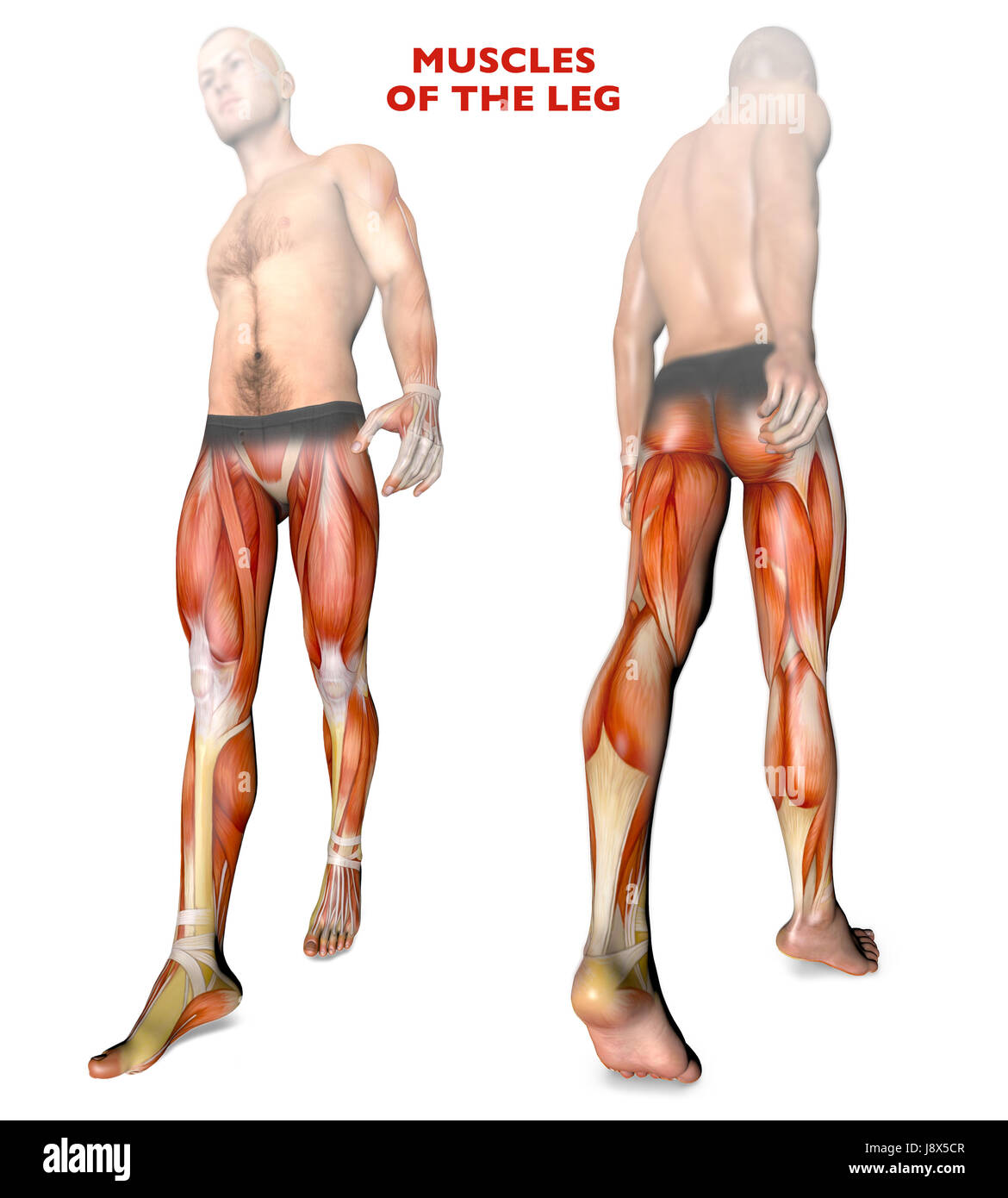 Leg muscles human body anatomy muscle system 3d rendering leg muscles human body anatomy muscle system 3d rendering ccuart Choice Image