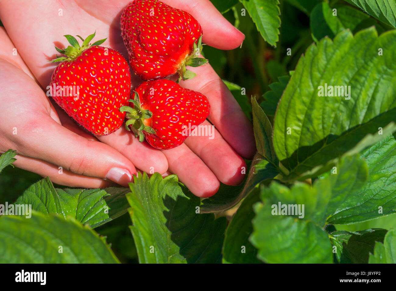 Three fresh picked delicious strawberries held over strawberry ...