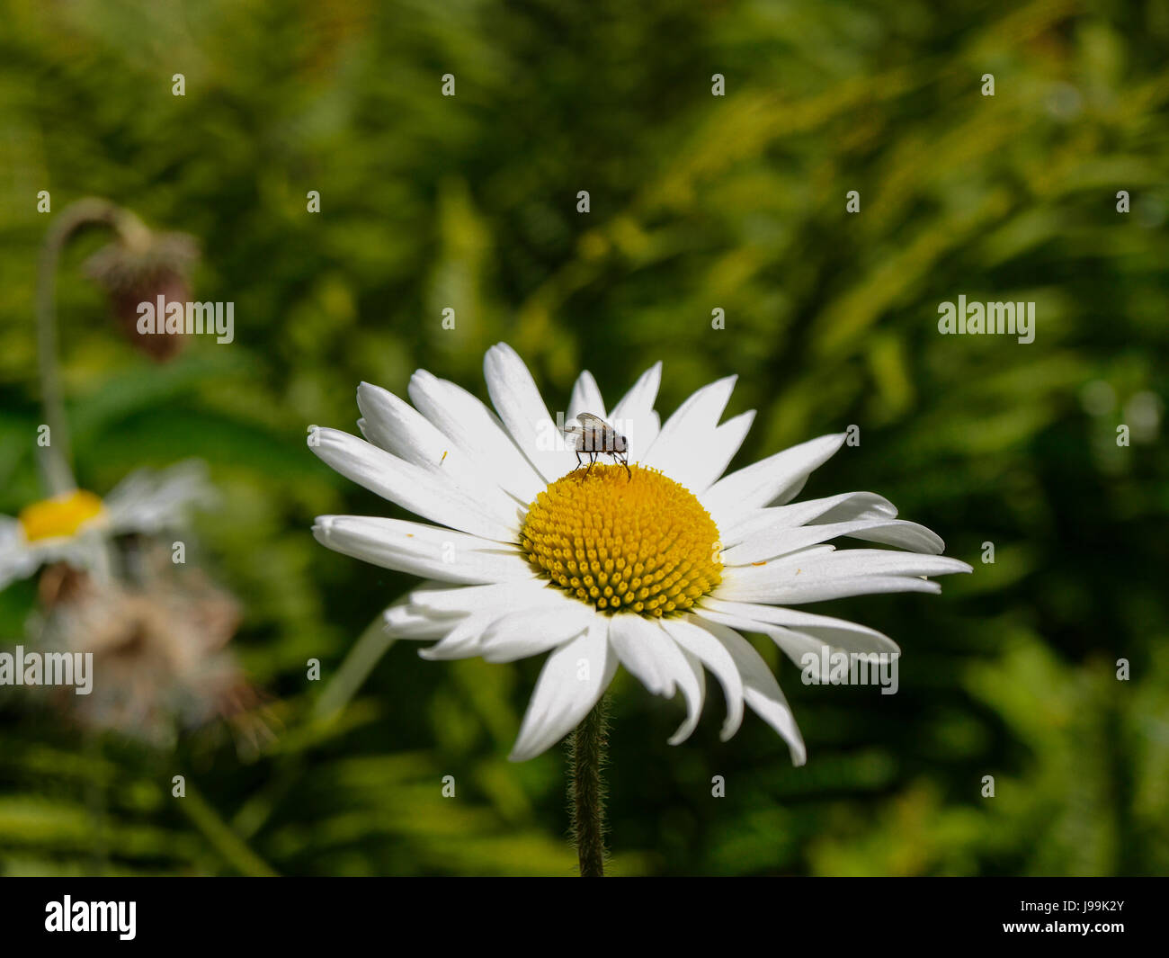 Close up a beautiful daisy flower macro of beautiful white daisies close up a beautiful daisy flower macro of beautiful white daisies flowers and visitor izmirmasajfo