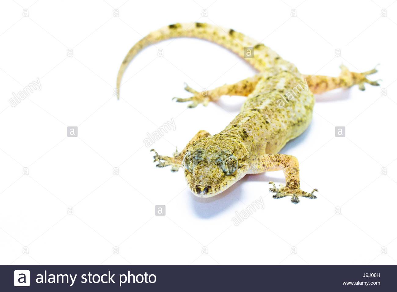 animal portrait of a tropical house gecko, hemidactylus mabouia