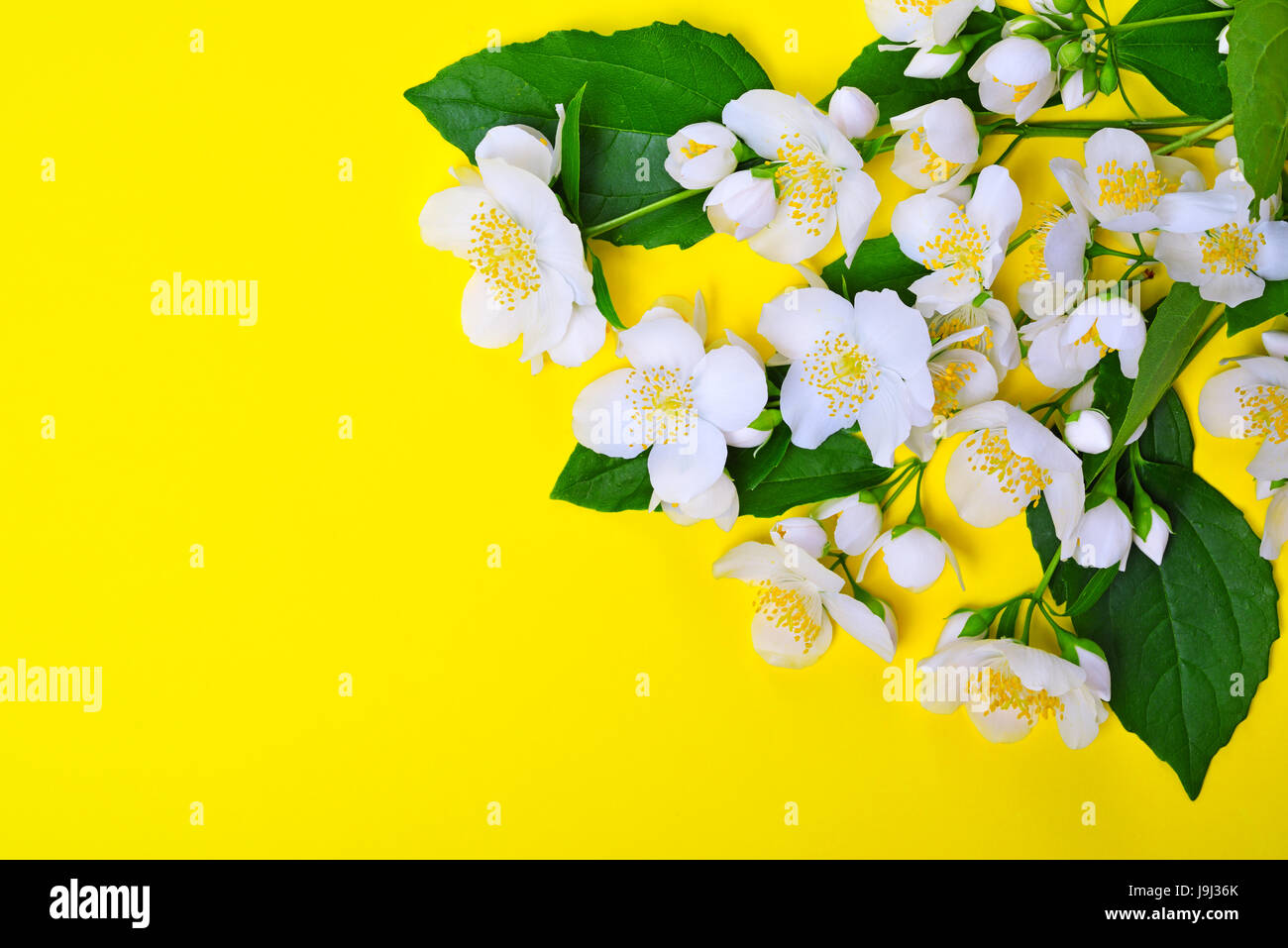 Branches with white jasmine flowers on a yellow background empty branches with white jasmine flowers on a yellow background empty space on the left izmirmasajfo Images