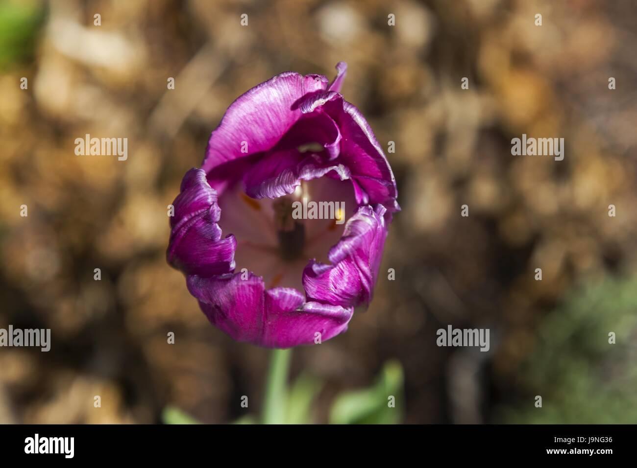 Wild rose rosa acicularis symbol of canadian alberta province wild rose rosa acicularis symbol of canadian alberta province biocorpaavc Choice Image