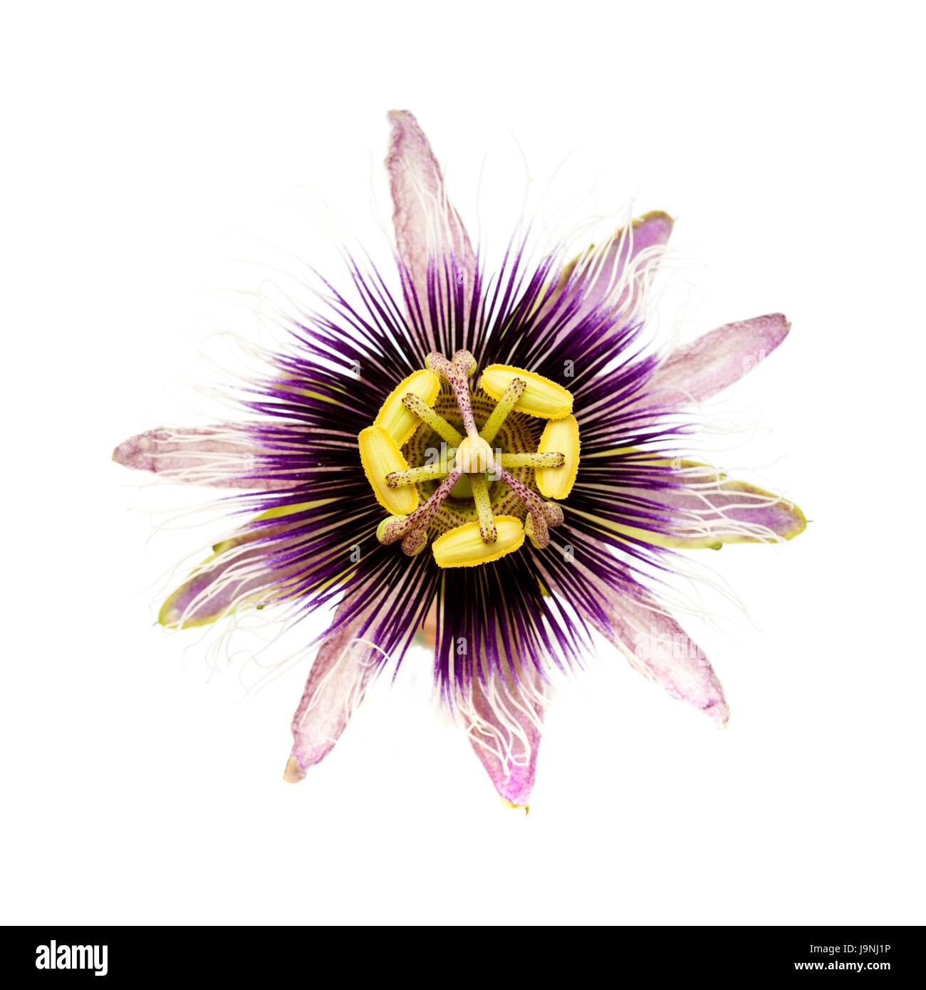 Purple and white passionflower isolated on white background stock stock photo purple and white passionflower isolated on white background dhlflorist Images