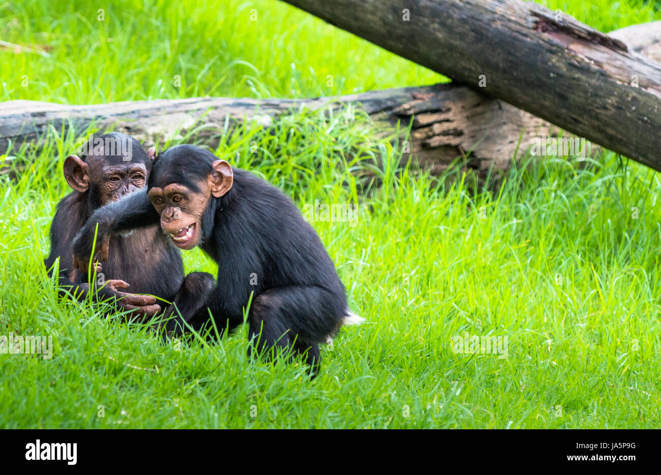 Baby Chimpanzees Playing | www.pixshark.com - Images ...