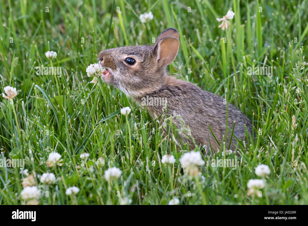 young eastern cottontail sylvilagus floridanus eating clover