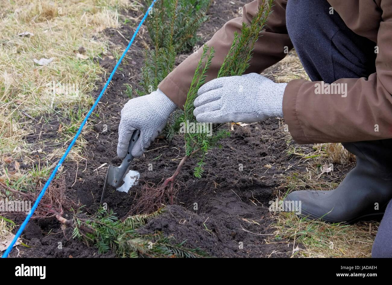 Hecke pflanzen Eibe planting a taxus hedge 04 Stock