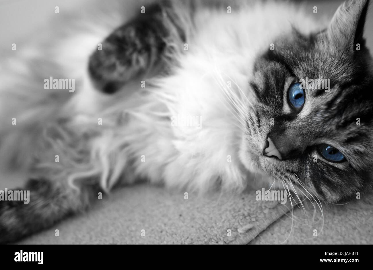 Black And White Shot With Blue Eyes Ragdoll Cat Portrait Stock