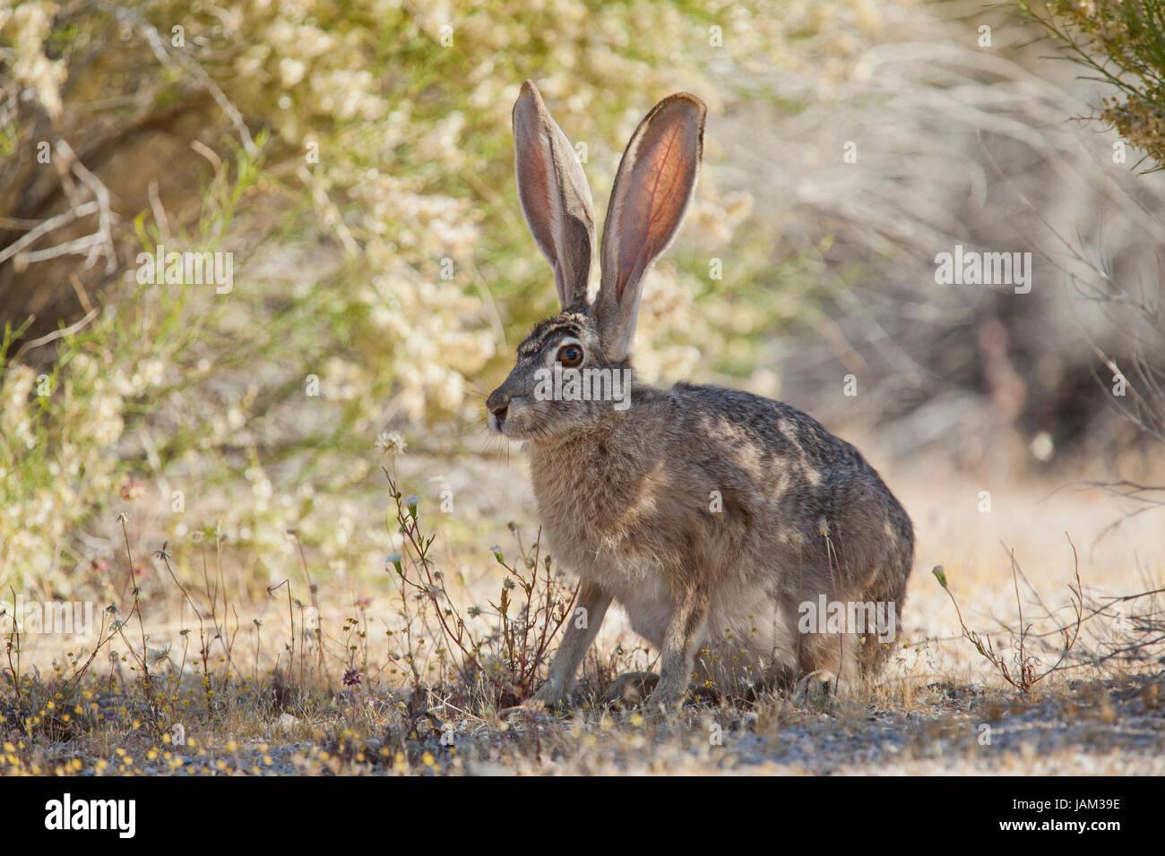 black tailed jackrabbit lepus californicus mojave desert stock