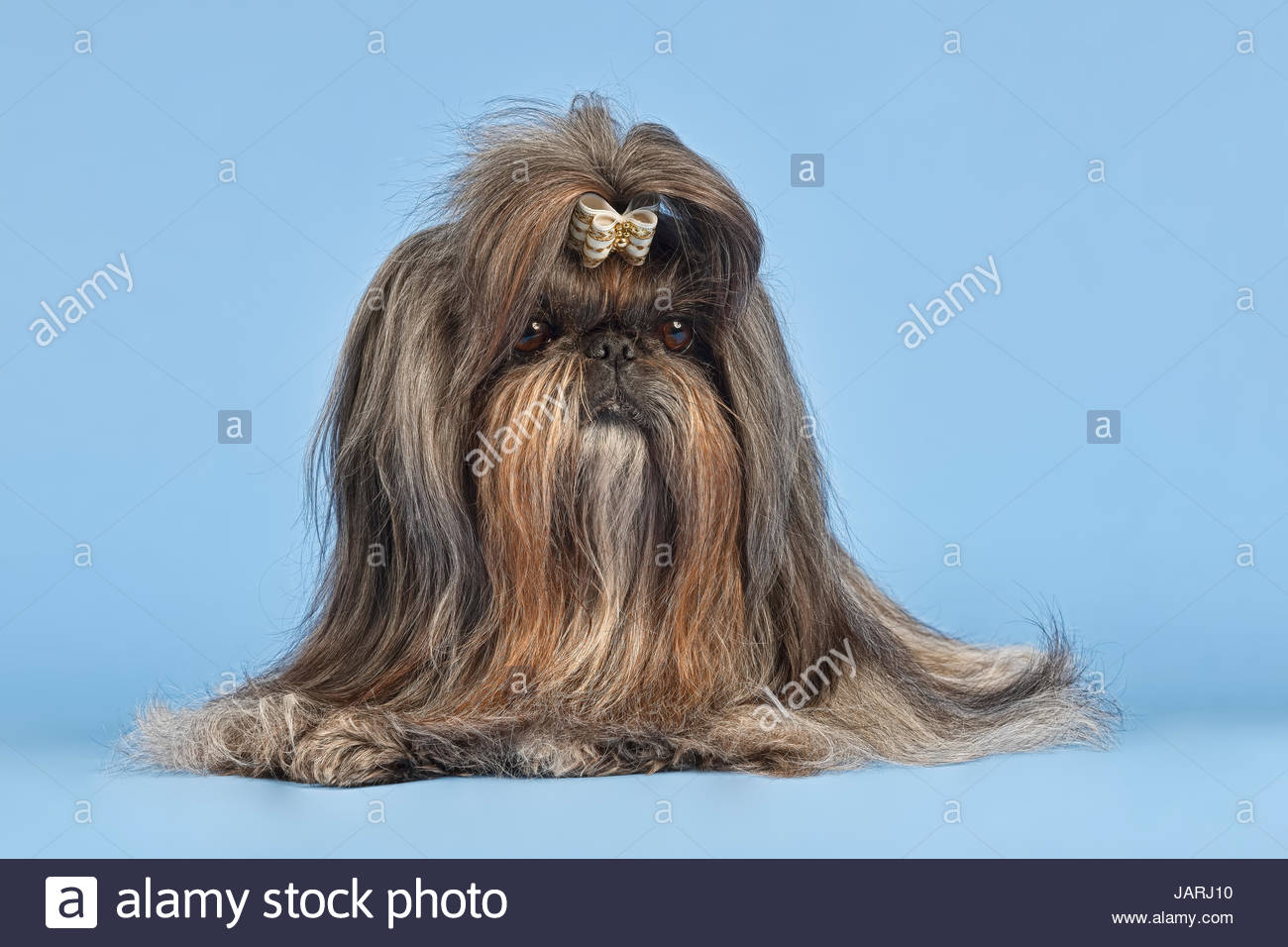 shih tzu h ndin alter 6 jahre farbe silber blau brindle stock photo 144348540 alamy. Black Bedroom Furniture Sets. Home Design Ideas