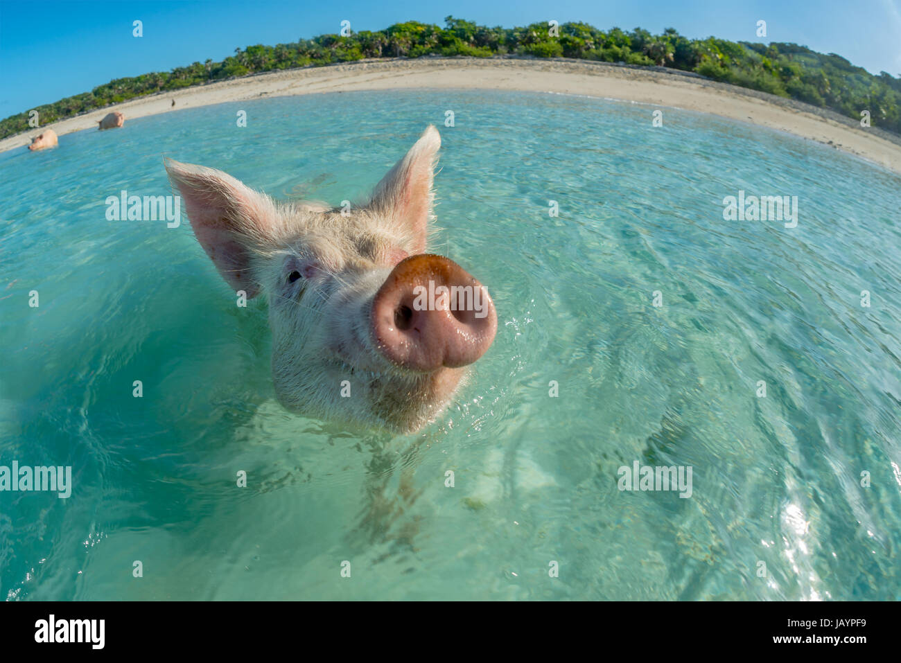 Contented Pink Swimming Pig In The Turquoise Sea Bahamas - Bahamas in december