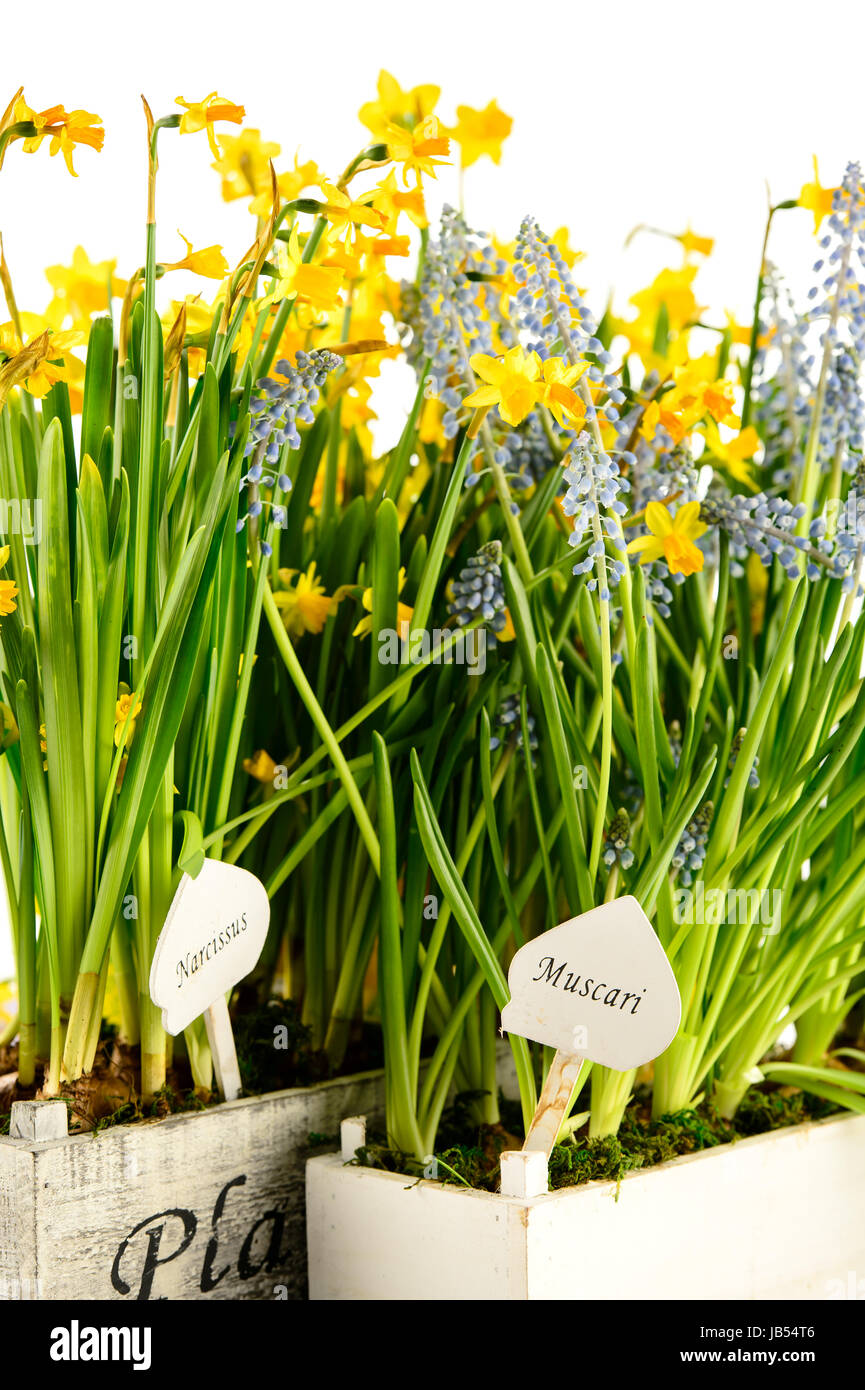 Grape hyacinth and narcissus spring potted flowers stock photo grape hyacinth and narcissus spring potted flowers mightylinksfo Image collections