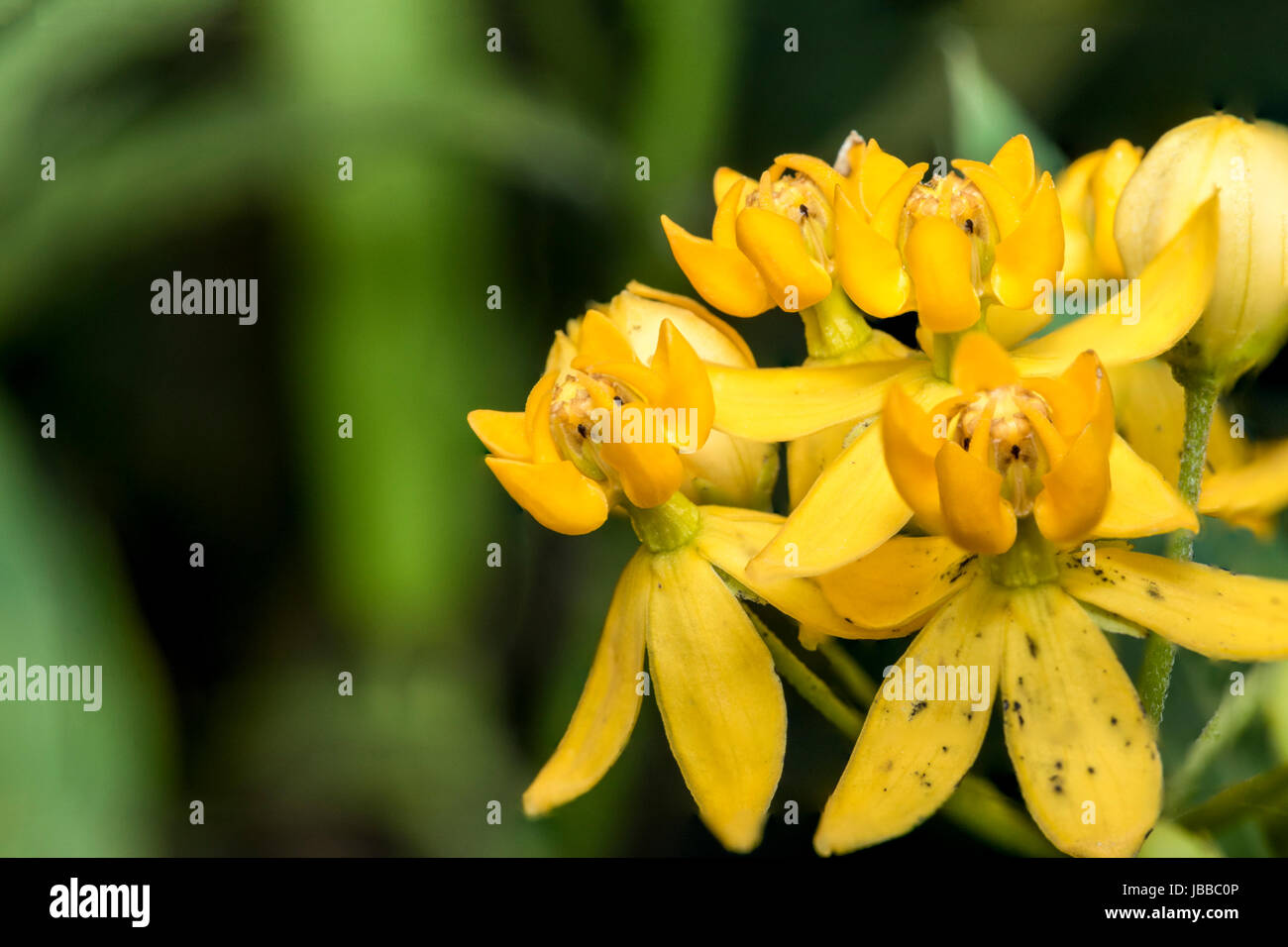 Yellow bell flowers in a garden stock photo royalty free image yellow bell flowers in a garden mightylinksfo