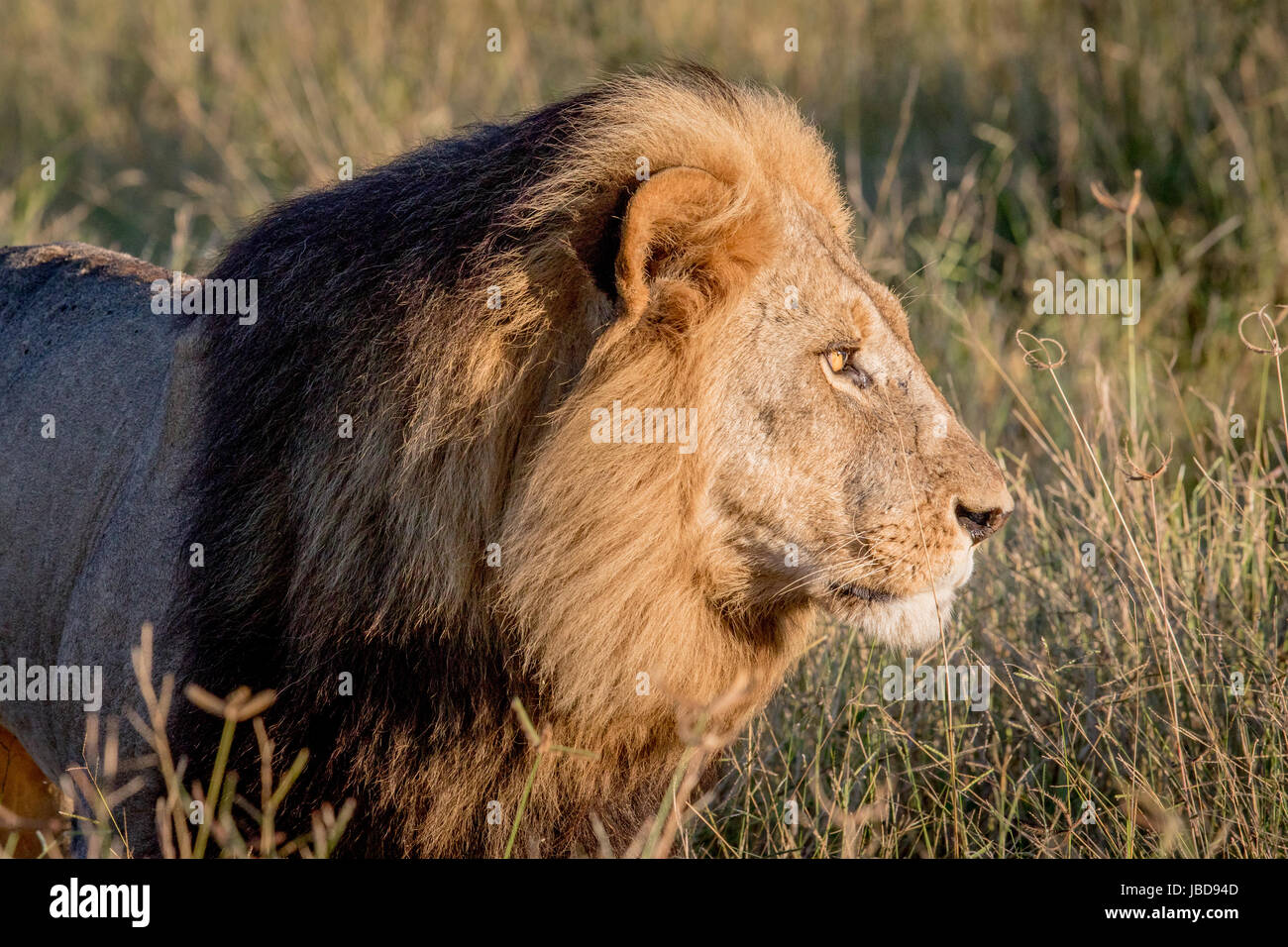Side profile of a male Lion in the Chobe National Park ...