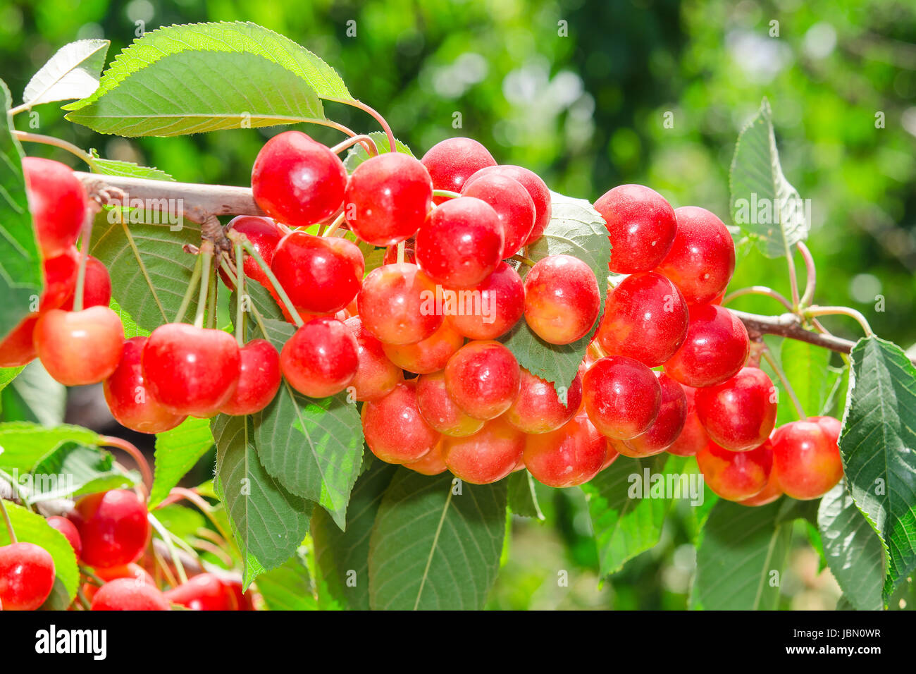 Sunlit ripe white rainier cherry sweet juicy berry bunches on tree ...