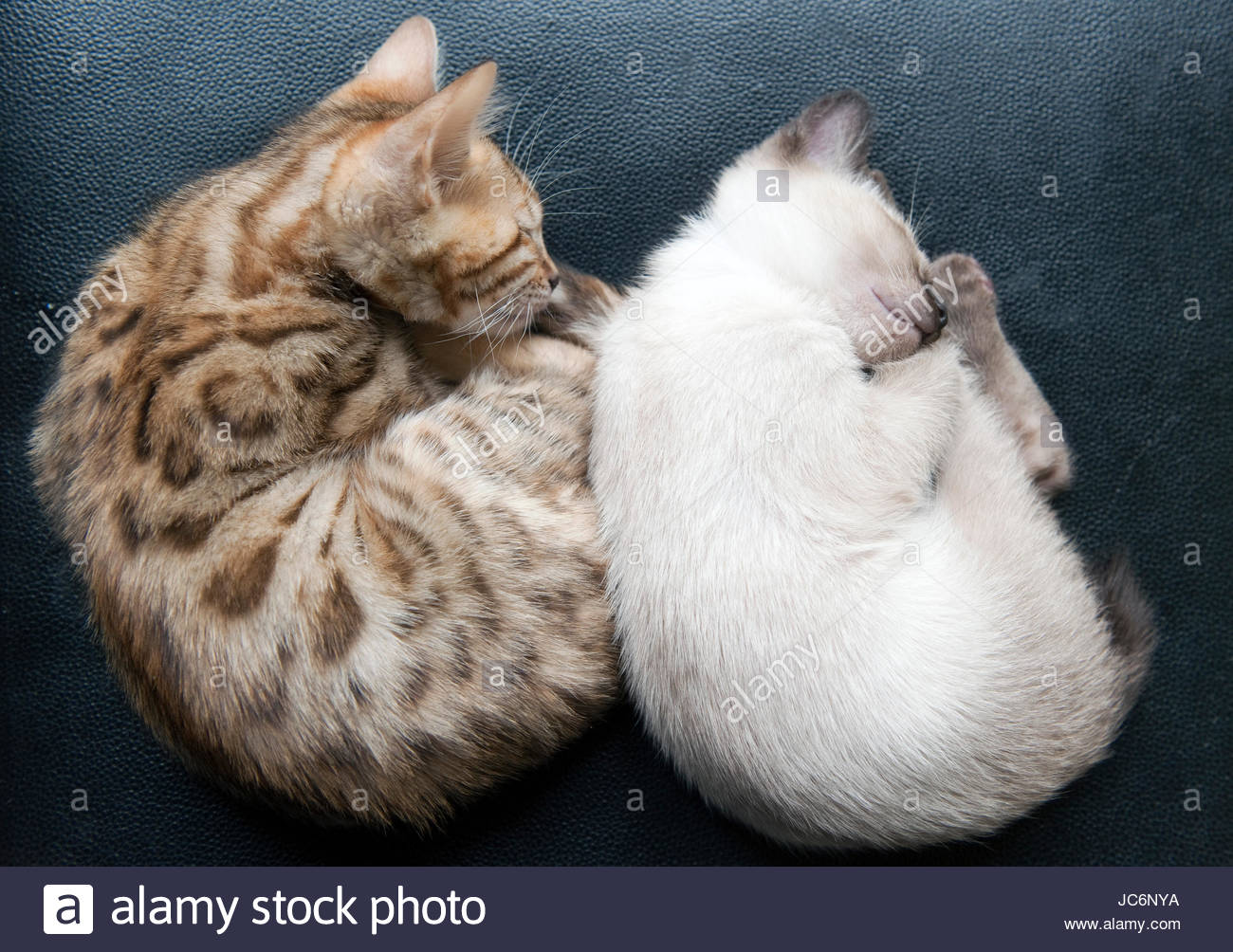siam and bengal cats while sleeping Stock Royalty Free