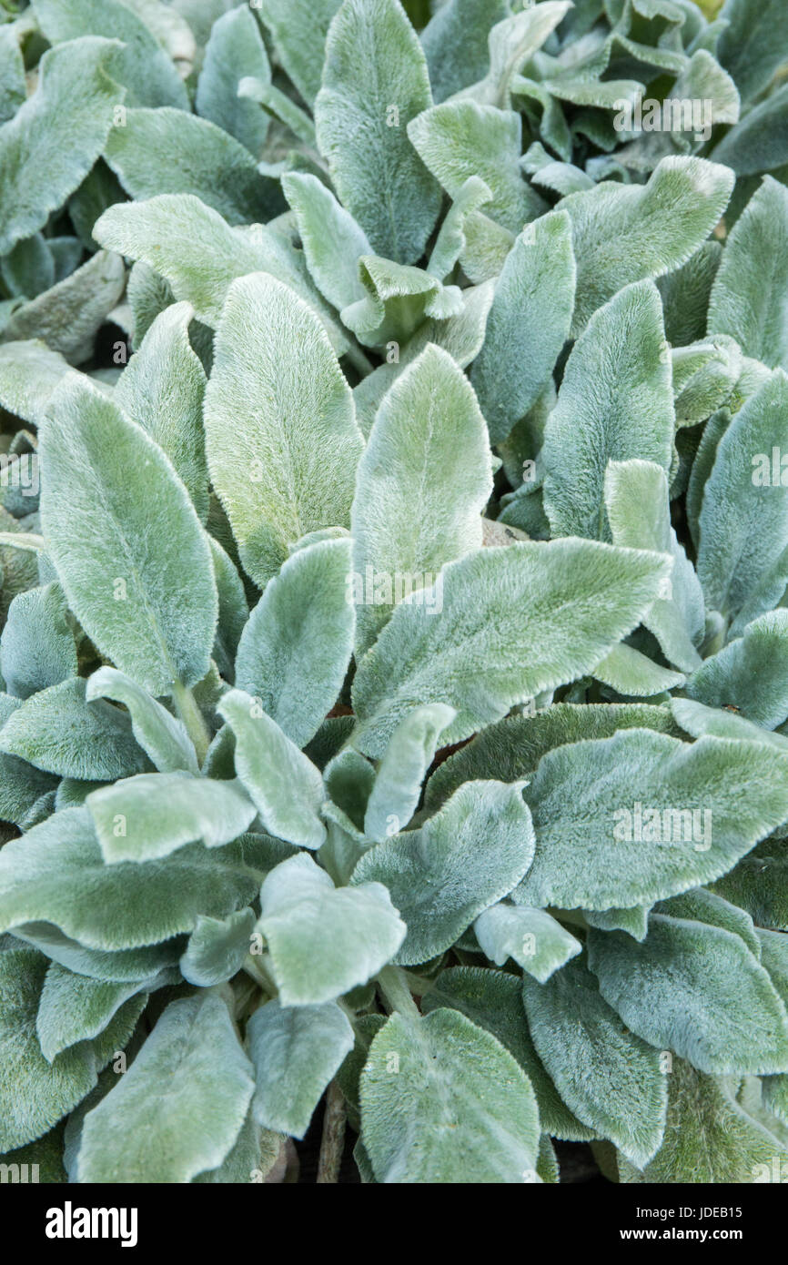 Lambs ear a non flowering ground cover growing in bellevue stock lambs ear a non flowering ground cover growing in bellevue washington usa dhlflorist Image collections