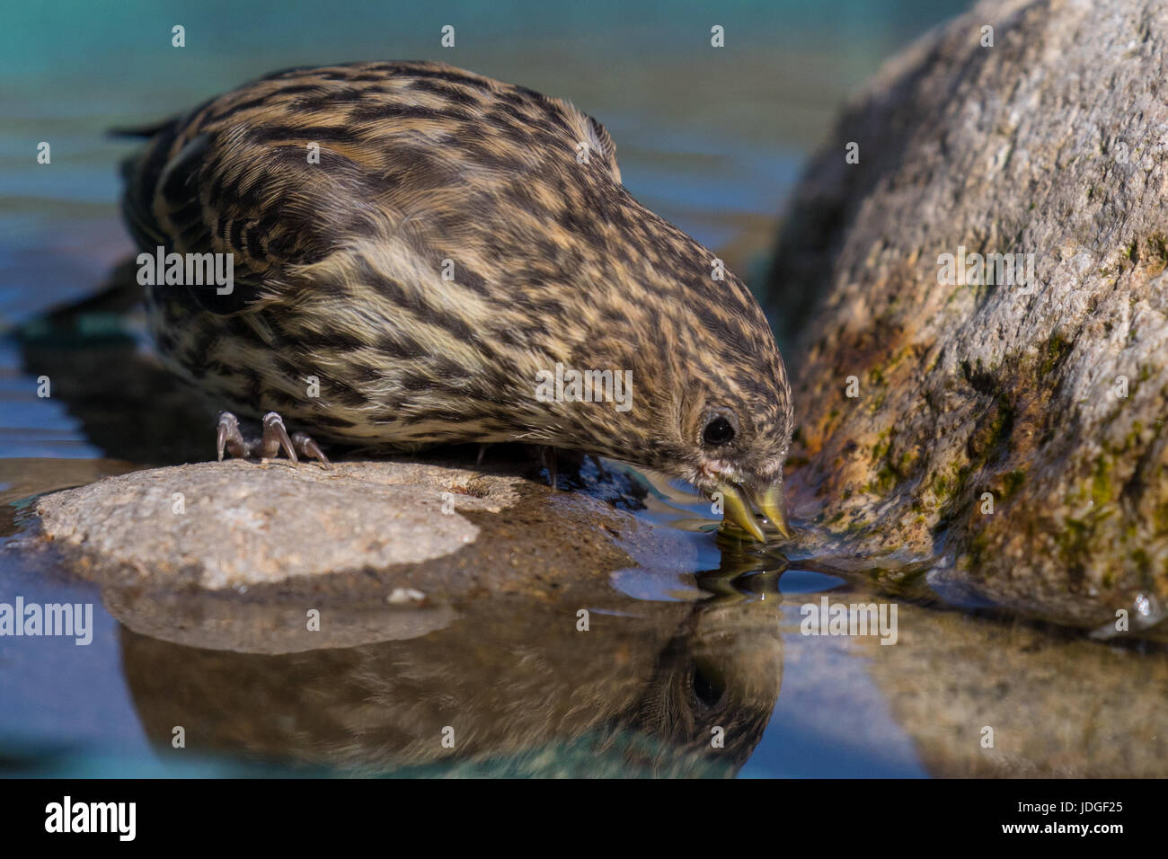 pine siskin a small type of finch visits a backyard bird bath