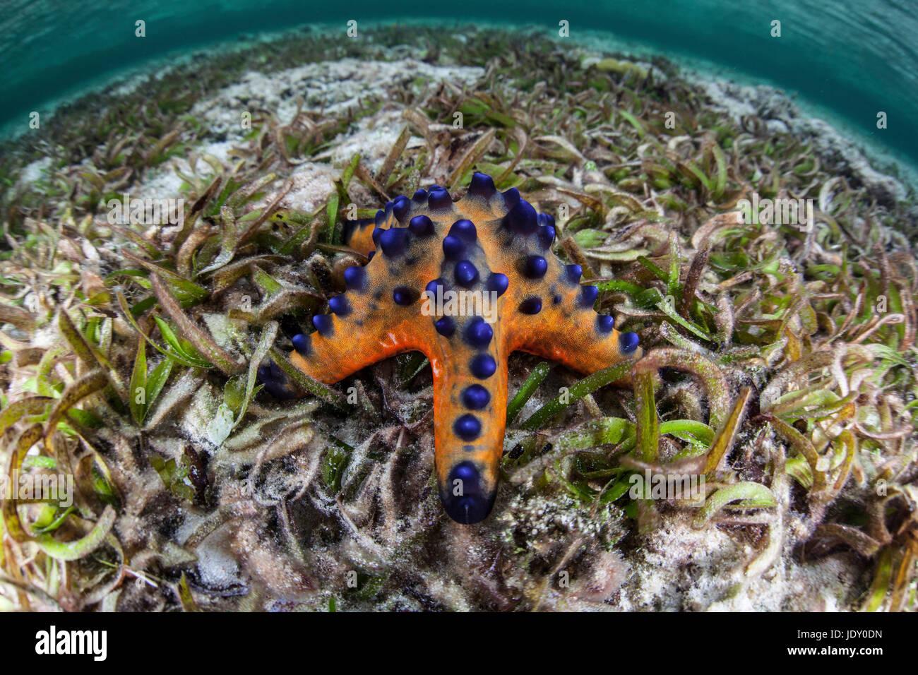 Chocolate Chip Starfish, Protoreaster nodosus, Wakatobi, Celebes ...