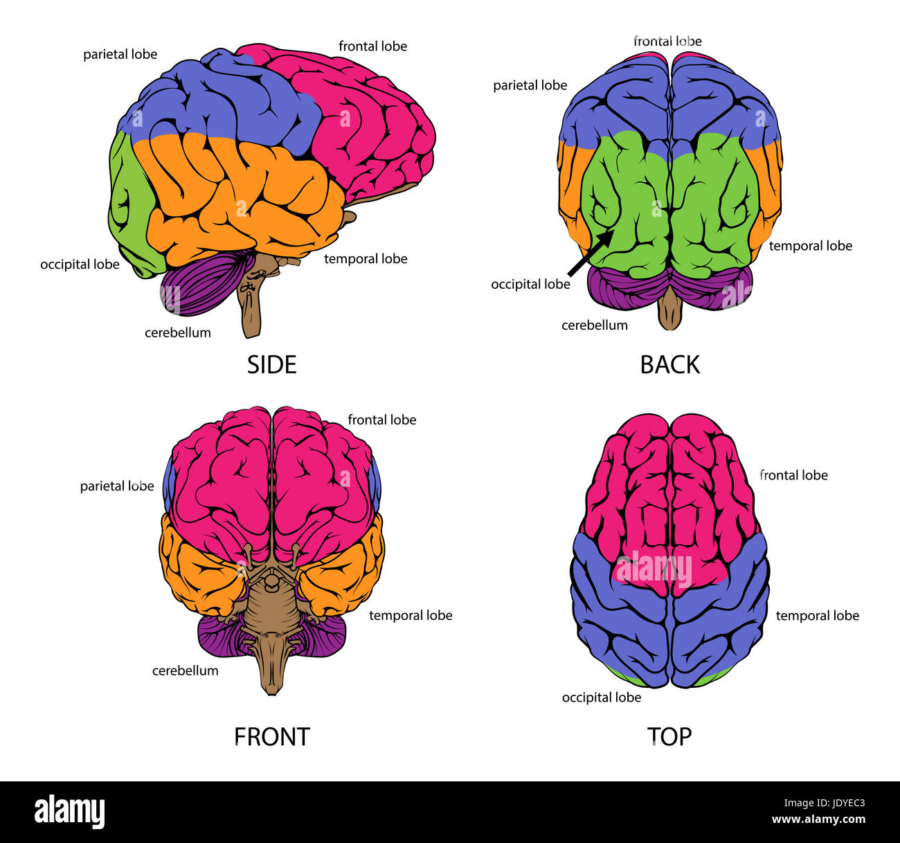 A diagram of a brain from the top side front and back in outline human brain from all sides with sections in different colors and text labels stock photo ccuart Choice Image