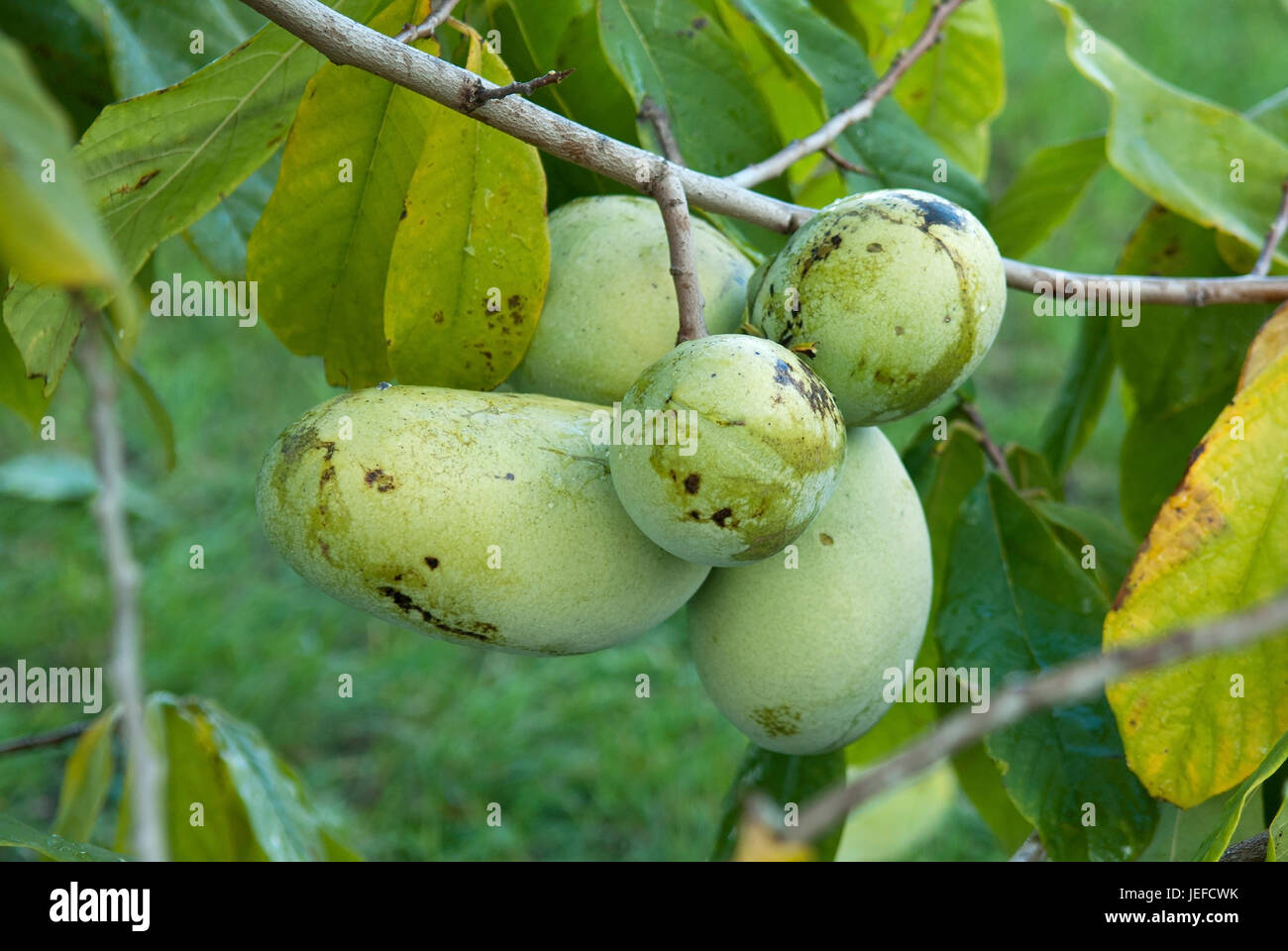 indian 39 s banana asimina triloba excellent in 1216 indianerbanane stock photo royalty free. Black Bedroom Furniture Sets. Home Design Ideas