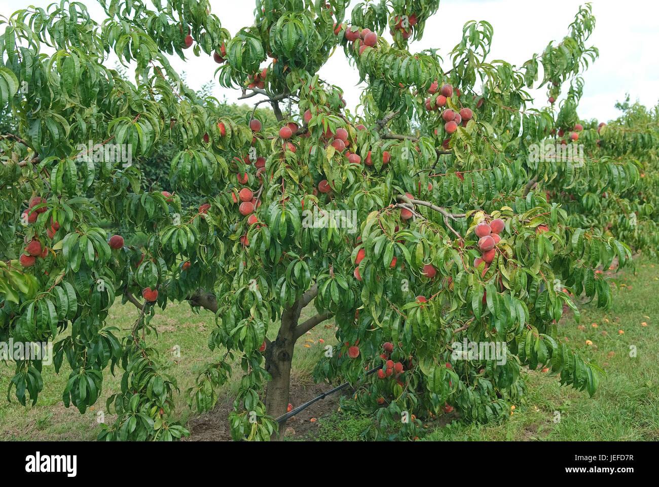 peaches prunus persica red haven pfirsiche prunus. Black Bedroom Furniture Sets. Home Design Ideas