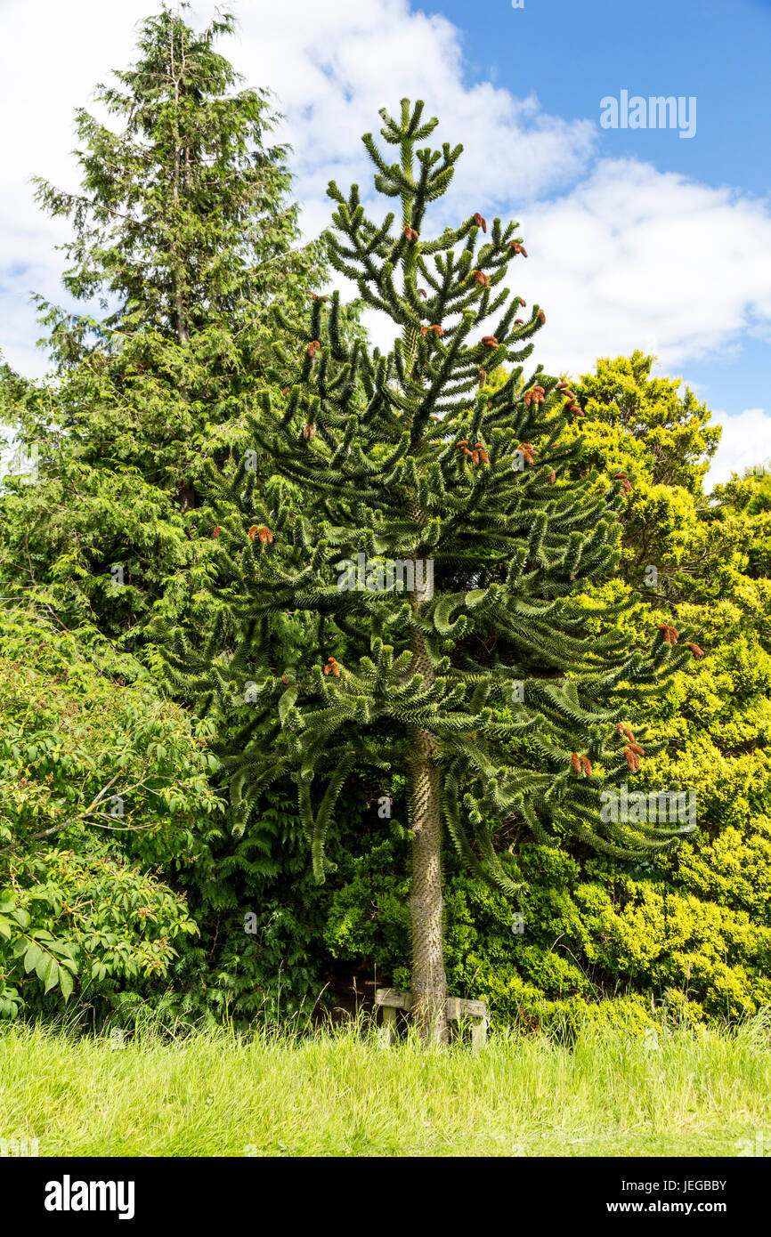 monkey puzzle tree care instructions