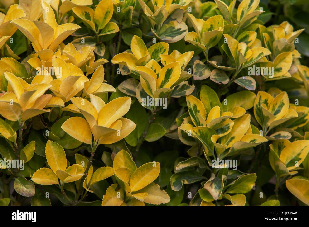 Gold Euonymus garden plant Stock Photo Royalty Free Image
