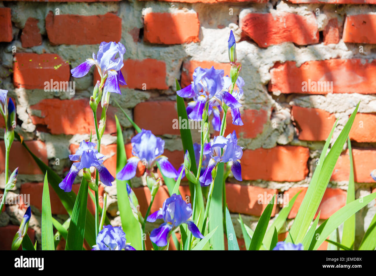Flowers In The Wall Garden - Iris flowers in the garden against a brick wall