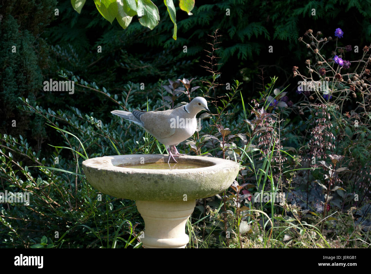 Collared dove drinking from stone bird bath in garden stock photo collared dove drinking from stone bird bath in garden workwithnaturefo
