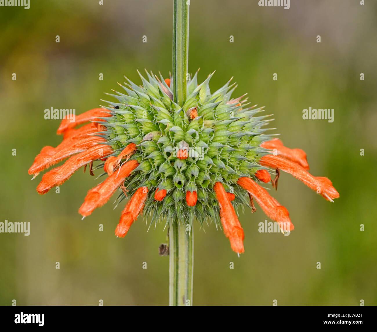 Цветы кларка фото описание