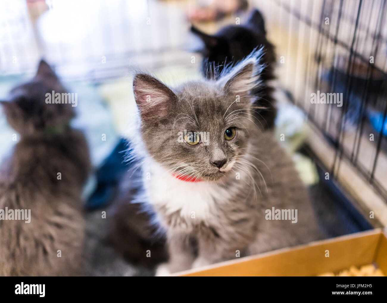 Portrait of one grey and white russian blue tiny kitten in cage