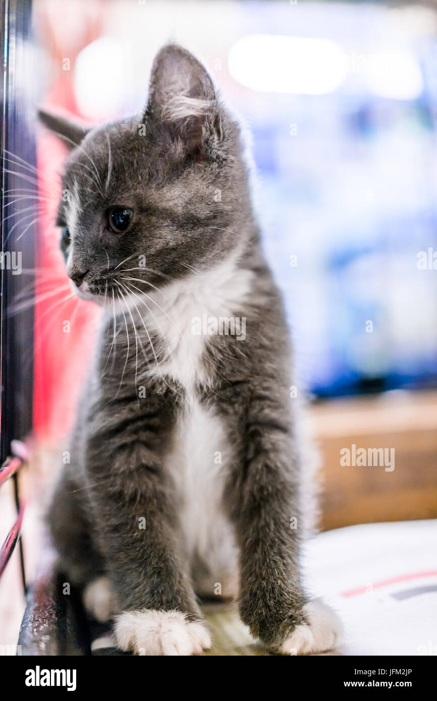 Portrait of one grey and white russian blue tabby tiny kitten in