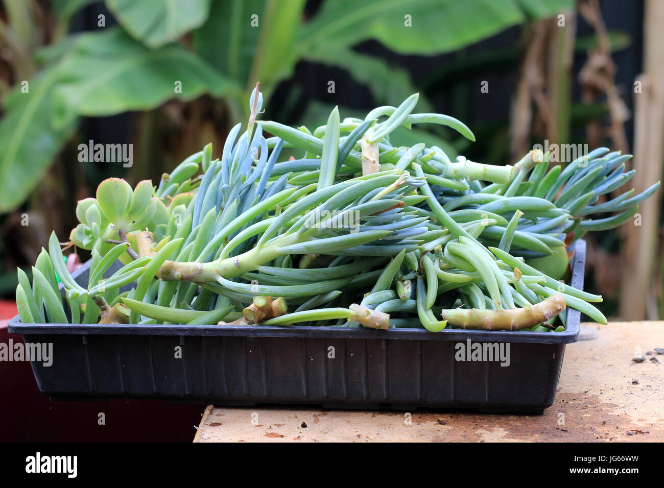 Blue chalk sticks plant - Blue Chalk Sticks Succulent Or Known As Senecio Mandraliscae Blue Finger Succulent