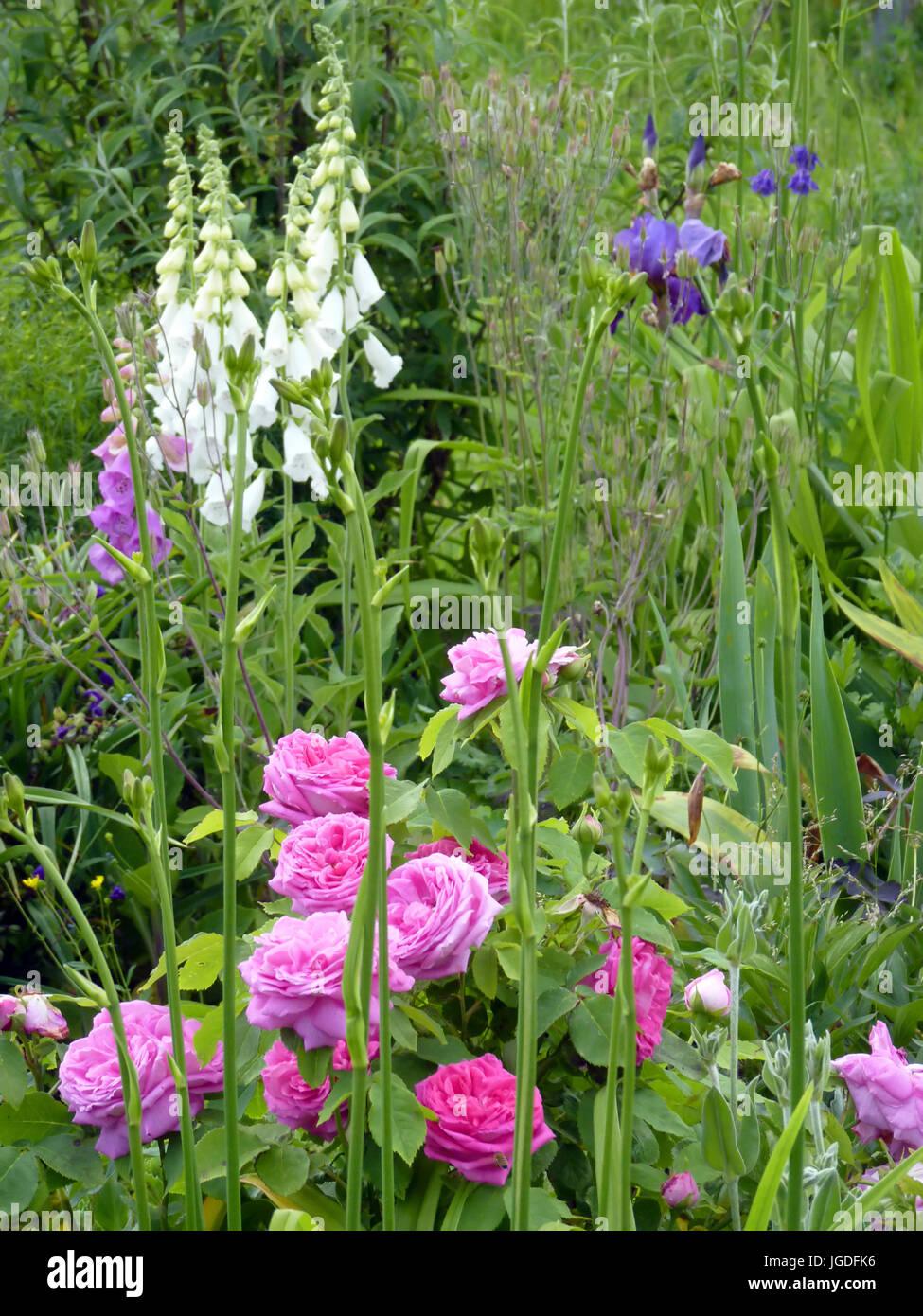 Flower garden with pink rosesiris and foxgloves stock photo flower garden with pink rosesiris and foxgloves izmirmasajfo