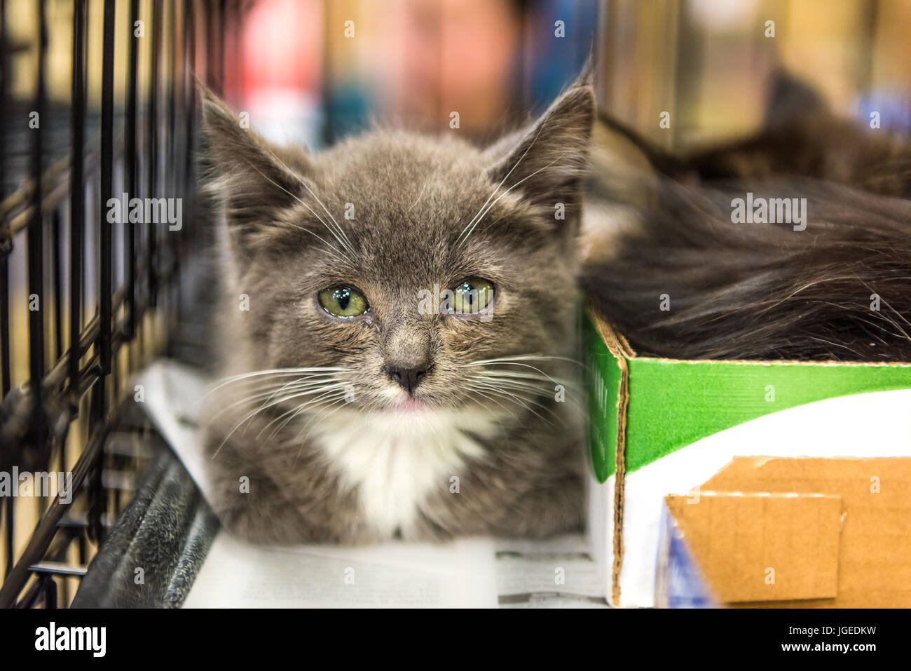 Closeup of adorable tiny russian blue grey and white kitten with